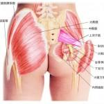 梨状筋解剖図