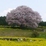 武雄 馬場一本山桜